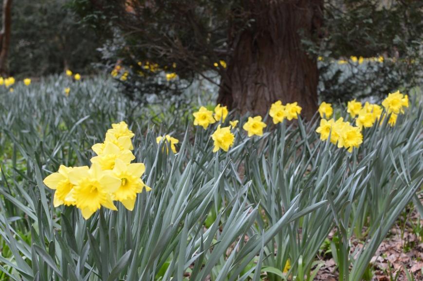 Ripley Castle Daffodils
